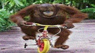 Smart Orangutan Can Ride Monocyle