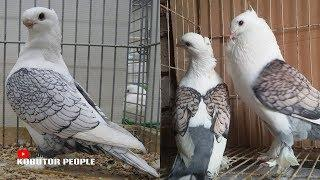 Shartin Pigeon Picture Collection | Fancy Pigeon | World Best & Most Beautiful Pigeons | V #7