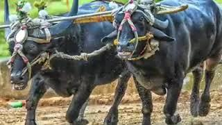 Kambala da King Chenna's Photos Collection...  Tulunaada Perme Kambala..