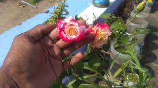 Rose flower photo collection | Photo Collection
